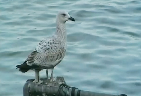 Gulls Documentary – 1min 50sec – 16:9